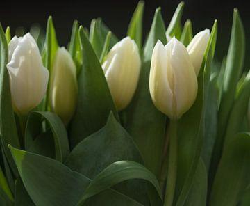 Frisse witte tulpen op een rij, fresh white tulips on a row van J..M de Jong-Jansen