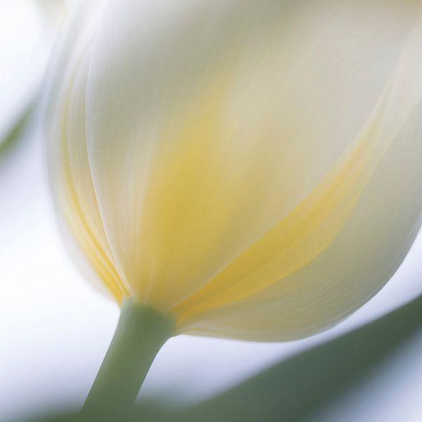 Witte Tulp in zacht tegen licht van Vandain Fotografie