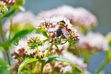 Honingbij op bloem von David van Coowijk
