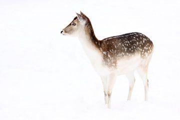 Portrait de daims dans la neige sur