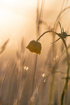 Hahnenfuß bei Sonnenaufgang von Kim Meijer