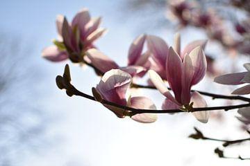 Roze lente bloesem met zonnige focus van bloeiende magnolia bloem van Dorus Marchal