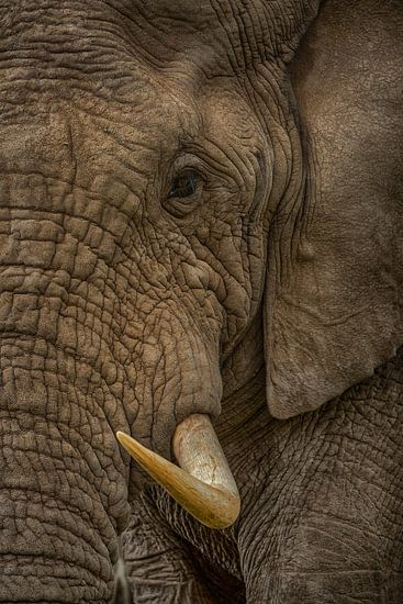 Elephant Bull  van Guus Quaedvlieg