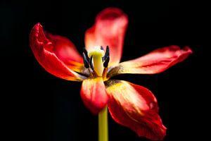 Rode Tulp van