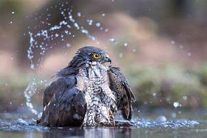 Sperwer die een badje neemt van