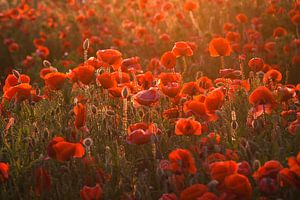 Poppys at Light van