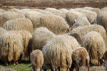 schapen dicht op elkaar van wil spijker