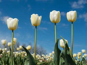 4 witte tulpen