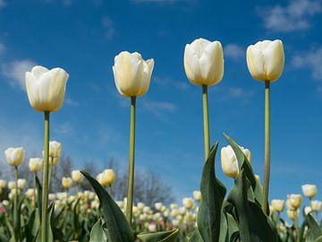 4 witte tulpen van Elles Rijsdijk