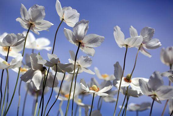 Grote Anemoon, Anemone sylvestris