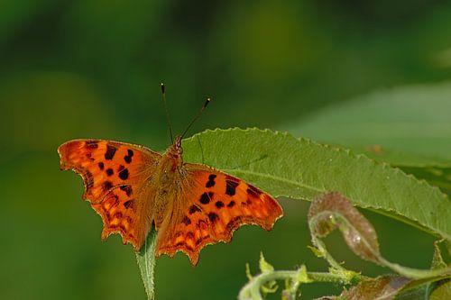 Diep oranje Gehakkelde aurelia vlinder