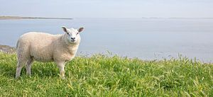 Lammetje op Texel.