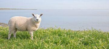 Lammetje op Texel. van