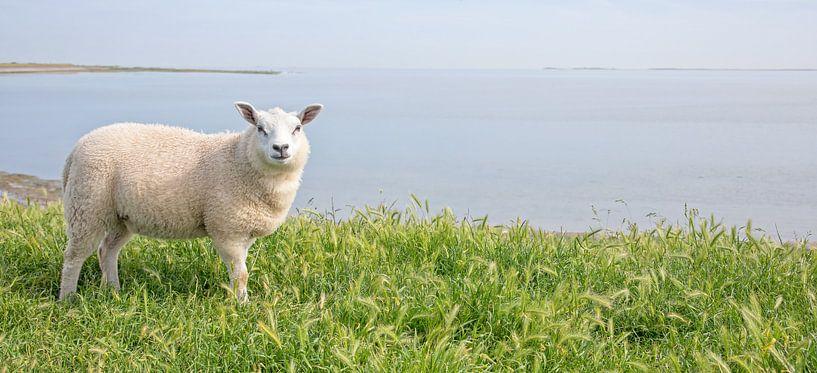 Lamm auf Texel. von Justin Sinner Pictures ( Fotograaf op Texel)