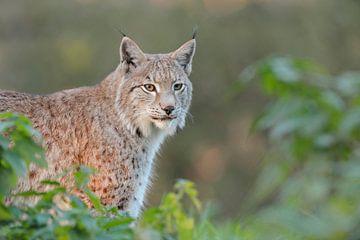 Eurasian Lynx ( Lynx lynx ), half hidden behind bushes van wunderbare Erde