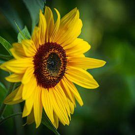 Gewöhnliche Sonnenblume Foto. Sonnenblumen - Pflanzen im Garten. von Thilo Wagner