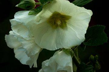 Blumen, Stockmalve weiß von Frans van der Gaag