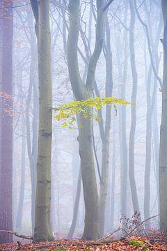 Matin brumeux dans la forêt de hêtres sur Francis Dost