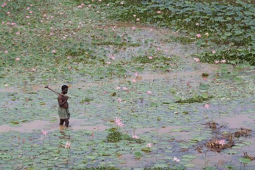 Man wadend door vijver met bloeiende lotussen van
