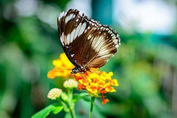 vlinder 2 sur Jurgen den Uijl