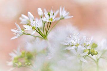 Bärlauch (Allium ursinum) in einem Pastell Bild von Jacqueline Gerhardt