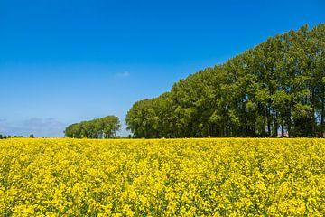 Rapsfeld mit Bäumen und blauen Himmel bei Parkentin von Rico Ködder