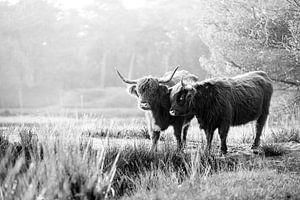 Twee Schotse Hooglanders in het bos van