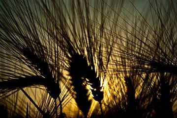 Getreidehalme im Morgenlicht von Norbert Sülzner