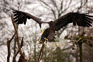 Amerikanischer Seeadler bei der Landung von gea strucks