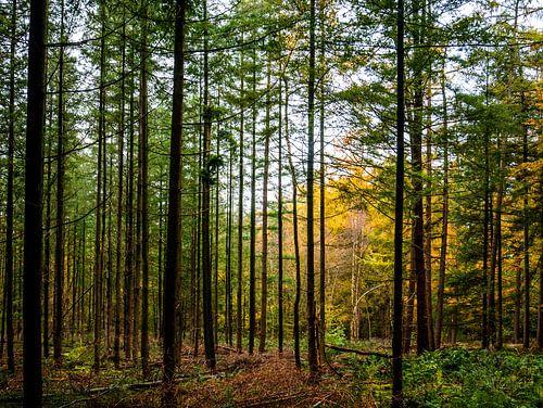 Rechte bomen in bos