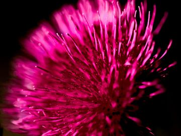 roze distel van Marieke Funke