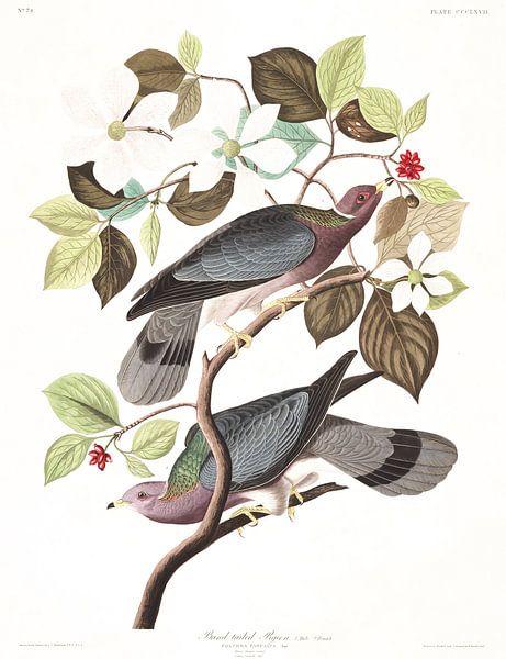 Bandstaartduif van Birds of America