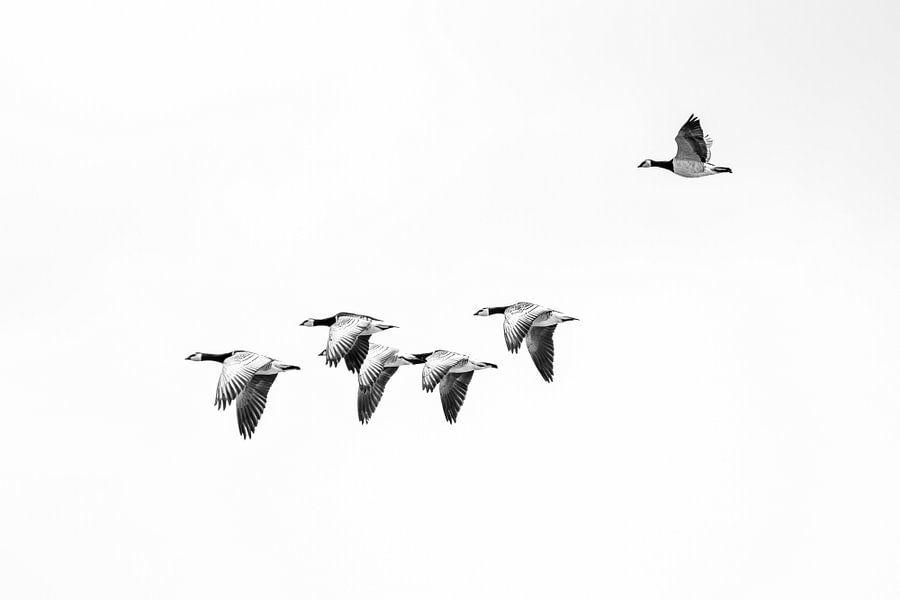Nonnengänse im Flug von Jurjen Veerman