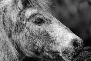 Pony Porträt van Rolf Pötsch