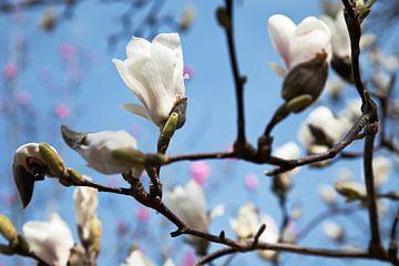 Magnolia blossem sur Raoul Suermondt