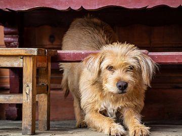 Hond in China van Stijn Cleynhens