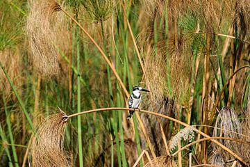 Bonte IJsvogel Okavango Delta Botswana van Merijn Loch