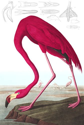 American Flamingo, op wit zonder legenda van Meesterlijcke Meesters