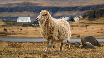 Schaf vor einer kleinen Siedlung von Denis Feiner
