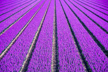 Hyacintenveld van Marleen Kuijpers
