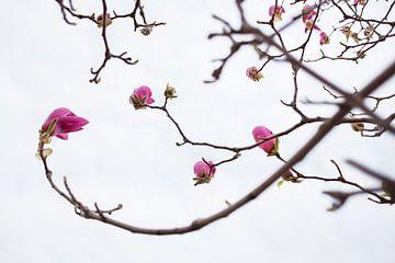 Bloeiende magnolia bloemen in de lente van Chihong