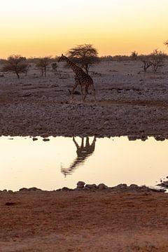 Giraffe am Wasserloch van Felix Brönnimann