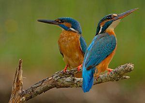 Kingfisher (Alcedo atthis), Stefan Benfer