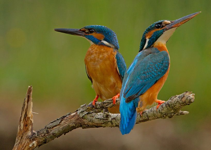 Kingfisher (Alcedo atthis), Stefan Benfer von 1x