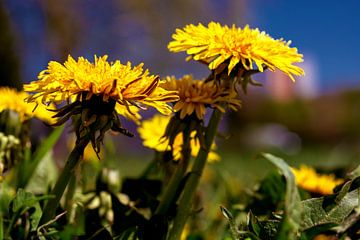 Concept flora : dandelion in a field van Michael Nägele