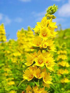 Gele Bloemen van Fayola Henderikse