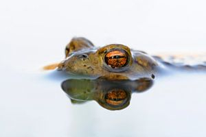 Common Toad ( Bufo bufo ) floating on white colored water