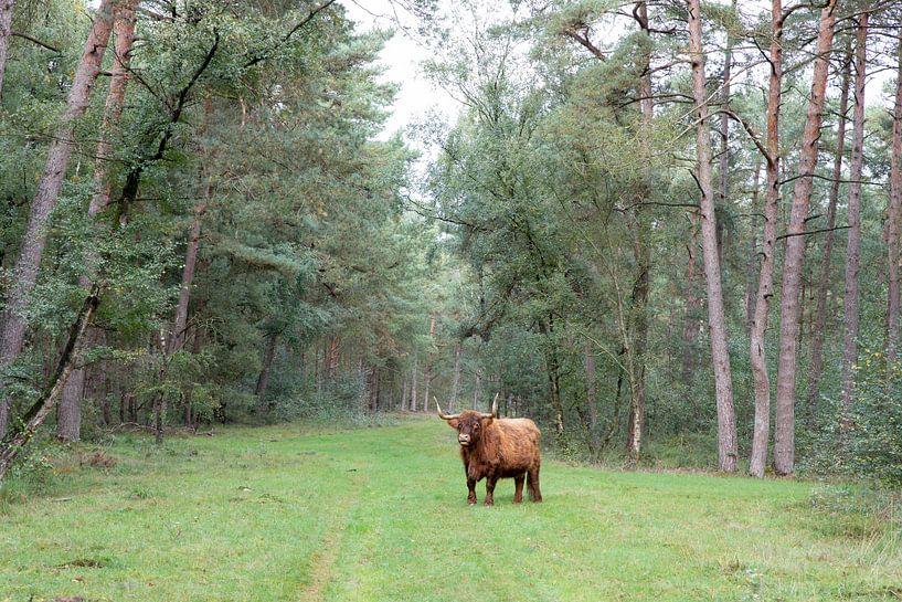 Schotse hooglander in Drents bos van Letty Bonsma
