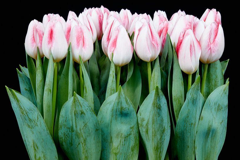 beautiful tulips van eric van der eijk