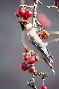 Pestvogel onder kroontje van appeltjes